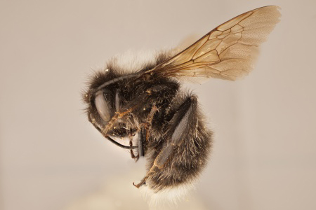 [Bombus funebris (lateral/side view) thumbnail]