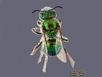 [Corynura aureoviridis (dorsal/top view) thumbnail]