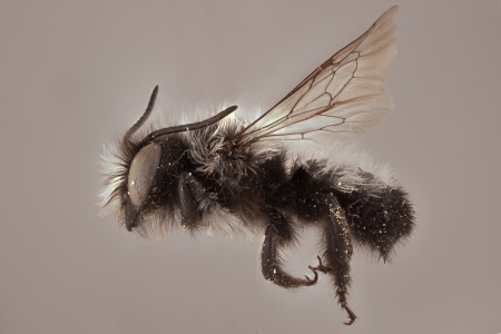 [Megachile saulcyi (lateral/side view) thumbnail]