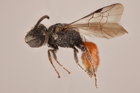 [Sphecodes (lateral/side view) thumbnail]