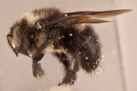 [Xylocopa viridigaster (lateral/side view) thumbnail]