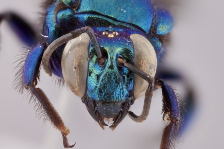 [Aglae caerulea male (anterior/face view) thumbnail]