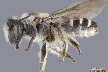 [Alocandrena porteri female (lateral/side view) thumbnail]
