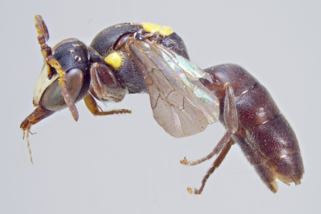 [Amphylaeus obscuriceps male (lateral/side view) thumbnail]