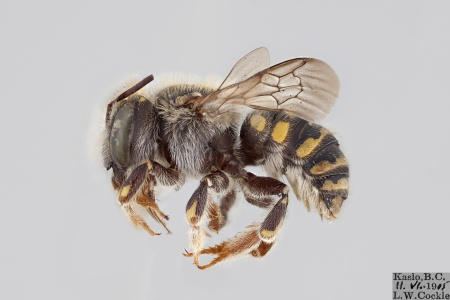 [Anthidium emarginatum female (lateral/side view) thumbnail]