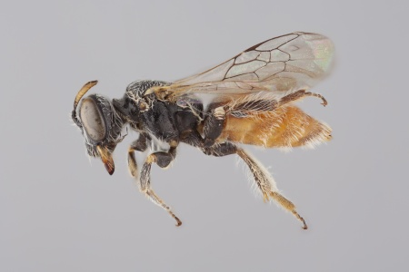 [Anthrenoides female (lateral/side view) thumbnail]