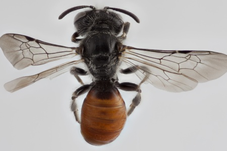[Anthrenoides male (dorsal/above view) thumbnail]