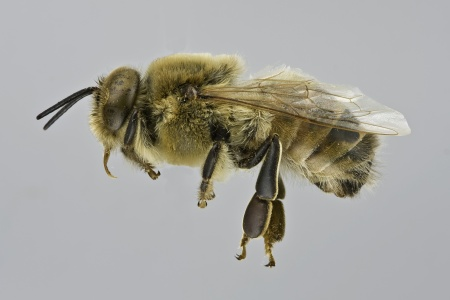 [Apis mellifera male (lateral/side view) thumbnail]