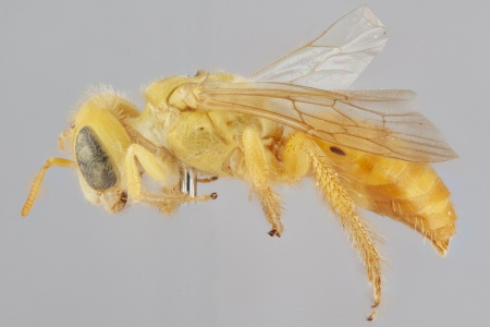 [Arhysosage male (lateral/side view) thumbnail]