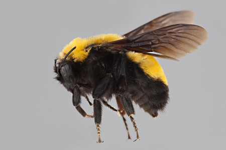 [Bombus morrisoni female (lateral/side view) thumbnail]