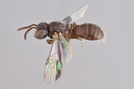 [Braunsapis breviceps male (lateral/side view) thumbnail]