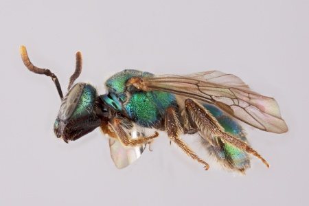 [Ceratalictus female (lateral/side view) thumbnail]
