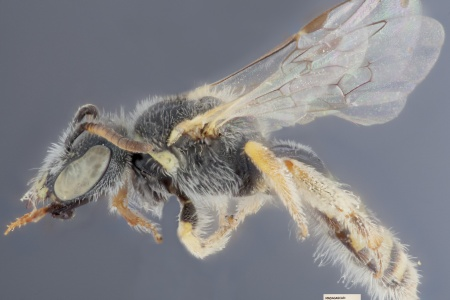 [Ceylalictus tumidus female (lateral/side view) thumbnail]