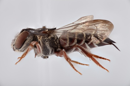 [Coelioxys bertonii female (lateral/side view) thumbnail]