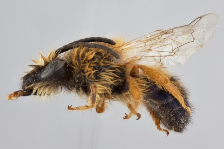 [Colletes fulvipes male (lateral/side view) thumbnail]