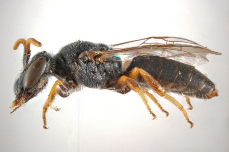 [Dasyhesma clypeata male (lateral/side view) thumbnail]