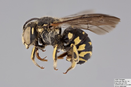 [Dianthidium subparvum male (lateral/side view) thumbnail]