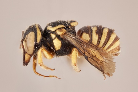 [Eoanthidium female (lateral/side view) thumbnail]