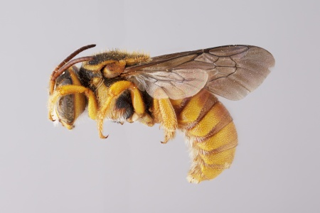 [Eoanthidium male (lateral/side view) thumbnail]