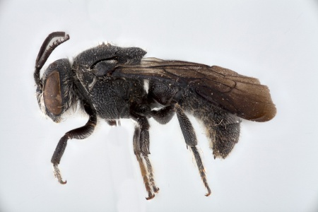[Euaspis male (lateral/side view) thumbnail]