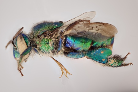 [Euglossa female (lateral/side view) thumbnail]