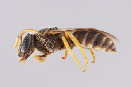 [Euryglossa adelaidae male (lateral/side view) thumbnail]