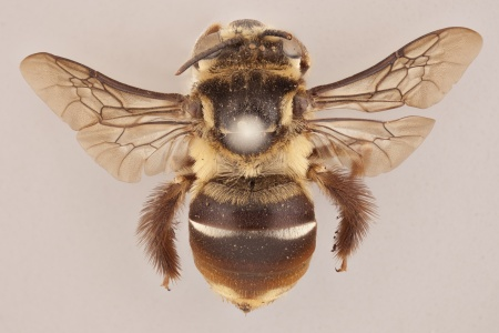 [Gaesochira obscurior female (dorsal/above view) thumbnail]