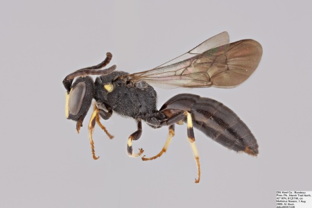 [Hylaeus nelumbonis male (lateral/side view) thumbnail]