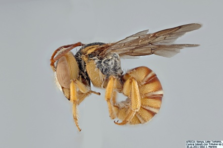 [Icteranthidium male (lateral/side view) thumbnail]