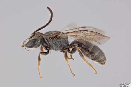 [Lasioglossum cephalotes male (lateral/side view) thumbnail]