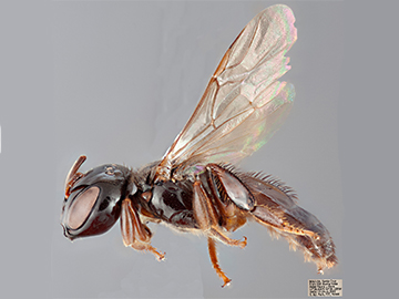 [Lestrimelitta male (lateral/side view) thumbnail]