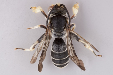 [Lipotriches male (dorsal/above view) thumbnail]