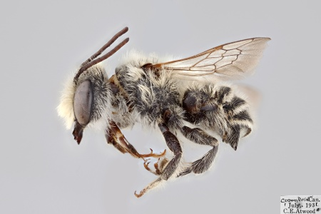 [Megachile coquilletti male (lateral/side view) thumbnail]