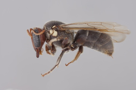 [Meroglossa female (lateral/side view) thumbnail]