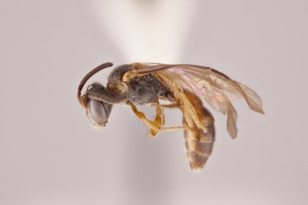 [Microsphecodes female (lateral/side view) thumbnail]