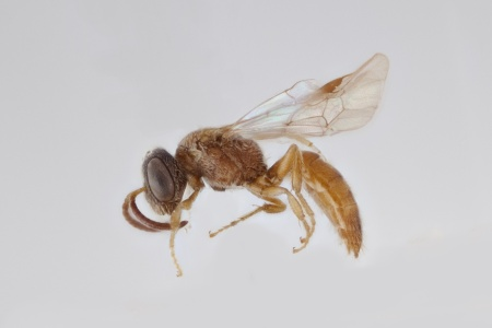 [Microsphecodes male (lateral/side view) thumbnail]