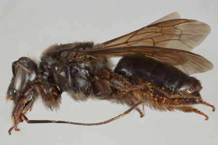[Niltonia virgilii female (lateral/side view) thumbnail]