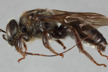 [Niltonia virgilii male (lateral/side view) thumbnail]