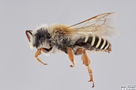 [Nomiocolletes male (lateral/side view) thumbnail]