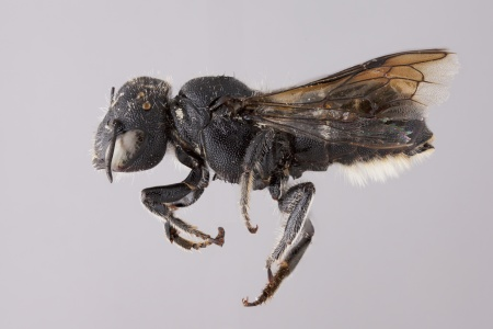 [Othinosmia female (lateral/side view) thumbnail]