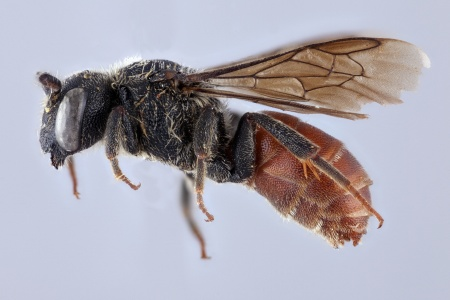 [Paradioxys male (lateral/side view) thumbnail]