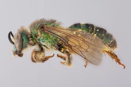 [Paragapostemon coelestinus female (lateral/side view) thumbnail]