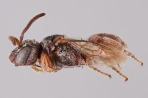 [Parammobatodes female (lateral/side view) thumbnail]