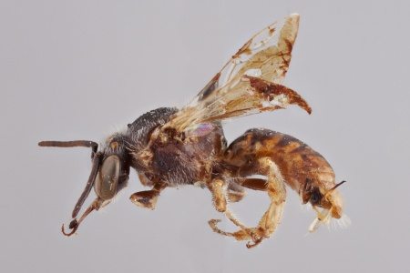 [Plebeina denoiti male (lateral/side view) thumbnail]