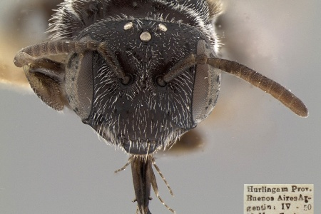 [Psaenythisca punctata female (anterior/face view) thumbnail]