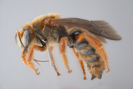 [Rhodanthidium male (lateral/side view) thumbnail]