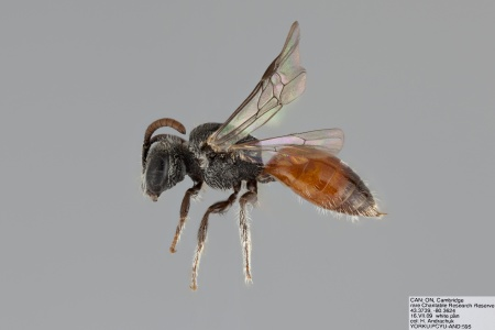 [Sphecodes atlantis female (lateral/side view) thumbnail]