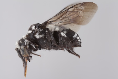 [Thyreomelecta siberica female (lateral/side view) thumbnail]