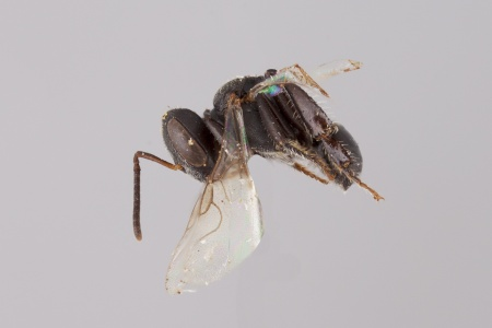 [Trigonisca female (lateral/side view) thumbnail]