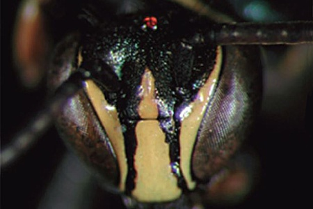 [Xenorhiza carinata male (anterior/face view) thumbnail]